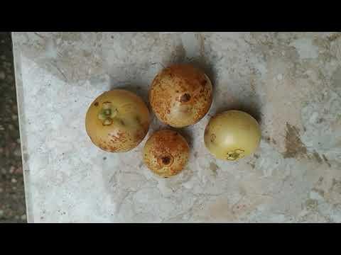 Pale Mystery Garcinia From Kalimantan Jungle