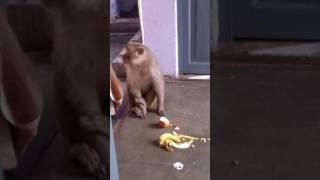 funny monkey eating bananas and apple