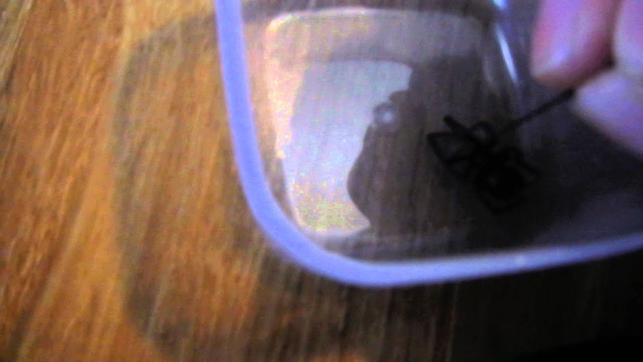 Pinning A Black Widow Spider Youtube