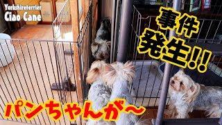 【ヨークシャーテリア専門犬舎チャオカーネ】 事件発生!!!! #ヨークシャ...