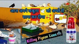 Aaj apne sabhi Kabootar ki Dhulai kr di 😜 ll How To Remove Pigeon Lices, ticks or flies 🤔