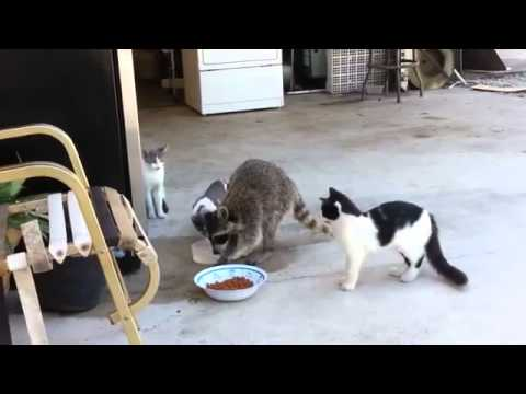 Procione ruba il cibo dalla ciotola dei gatti
