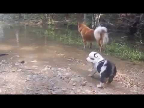Icelandic Sheepdog Puppies first outing