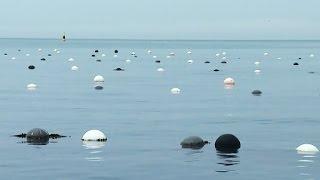 Как изменилась «морская ферма» в бухте Козьмино?