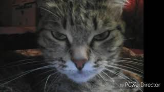 Кошка это дикий зверь