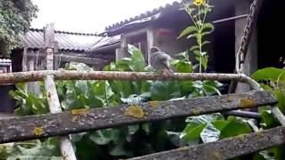 Kerti rozsdafarkú / Common redstart / Phoenicurus phoenicurus