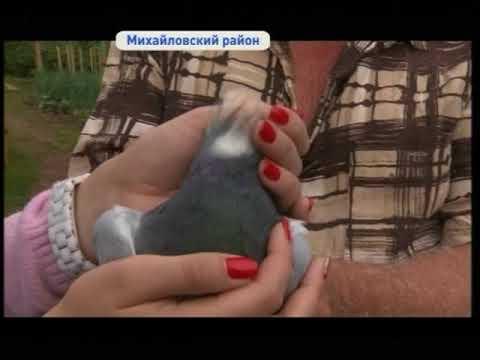 Почтового голубя из Китая приютили в приморском селе Михайловка