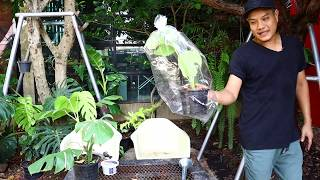 วิธีการขยายพันธ์ต้นมอนสเตอร่าแบบเลื้อย #Monsteraborsigiana(มอนสเตอร่า บอร์ซิเกียน่า)สวนข้างบ้านep52