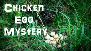 Chicken Egg Mystery - Our Dog brings us the Hidden Eggs