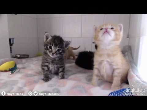 Tiny Kittens Corsica play baffs kittens pretty cute but probably not for pearl clutchers