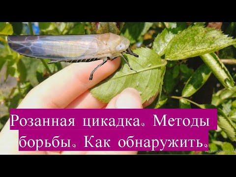 Розанная цикадка.  Методы борьбы. Как обнаружить.