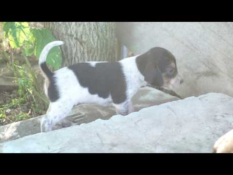 ADORABLE DOZEN!  3.5 week Beagle Coonhound puppies from Raven born July 31