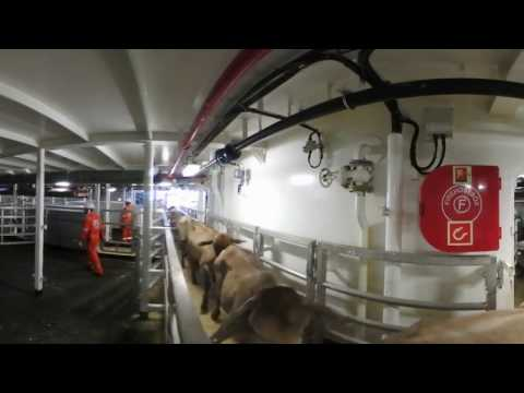 The live export journey – Loading cattle  Chapter 3 On board a ship