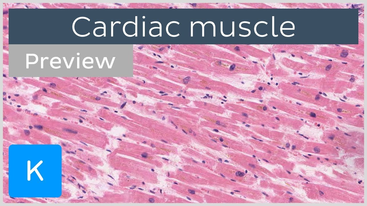 Cardiac Muscle Characteristics Functions And Location Preview