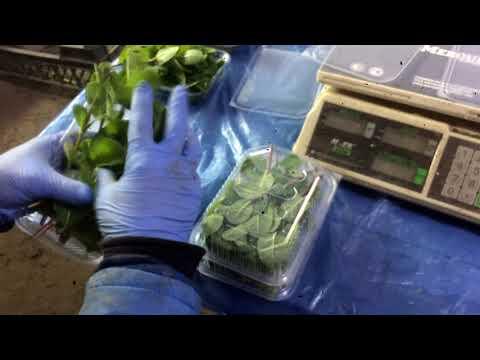 мята и розмарин для продажи\\ выращивание мяты и розмарина