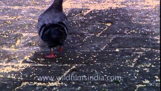 Flock of pigeons near the Taj Mahal Hotel- Mumbai