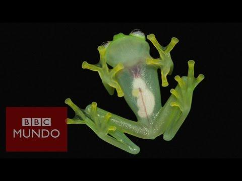"""La rana de """"cristal"""" que deja ver sus entrañas en Costa Rica"""