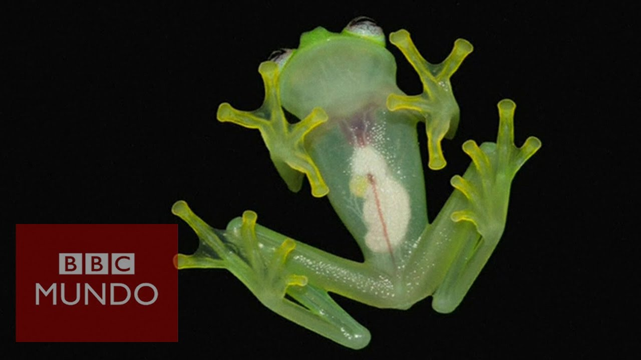 """News 8 Now >> La rana de """"cristal"""" que deja ver sus entrañas en Costa ..."""