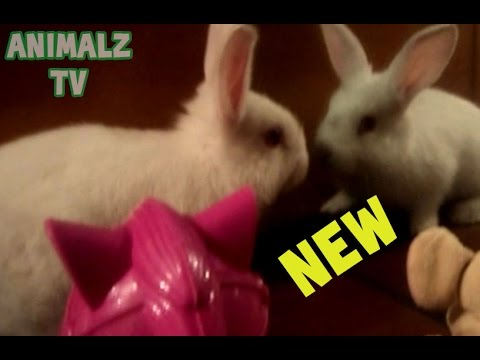 Cute Pet Rabbit Seeing Herself In Mirror For The First Time and Playing in Toys [NEW HD VIDEO]