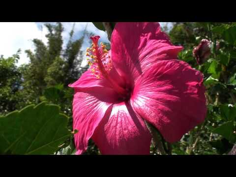 Flower Magenta Hawaiian State Flower