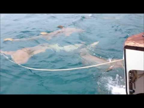 Levante Fishing Charter Adventures - North Queensland Marlin Season 2013