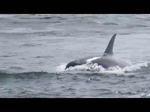 Killer Whales Frolic With BC Ferry