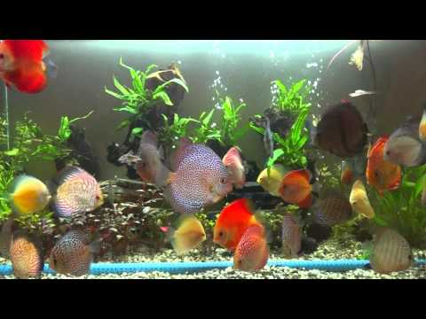 How to care for discus fish doovi for Discus fish types