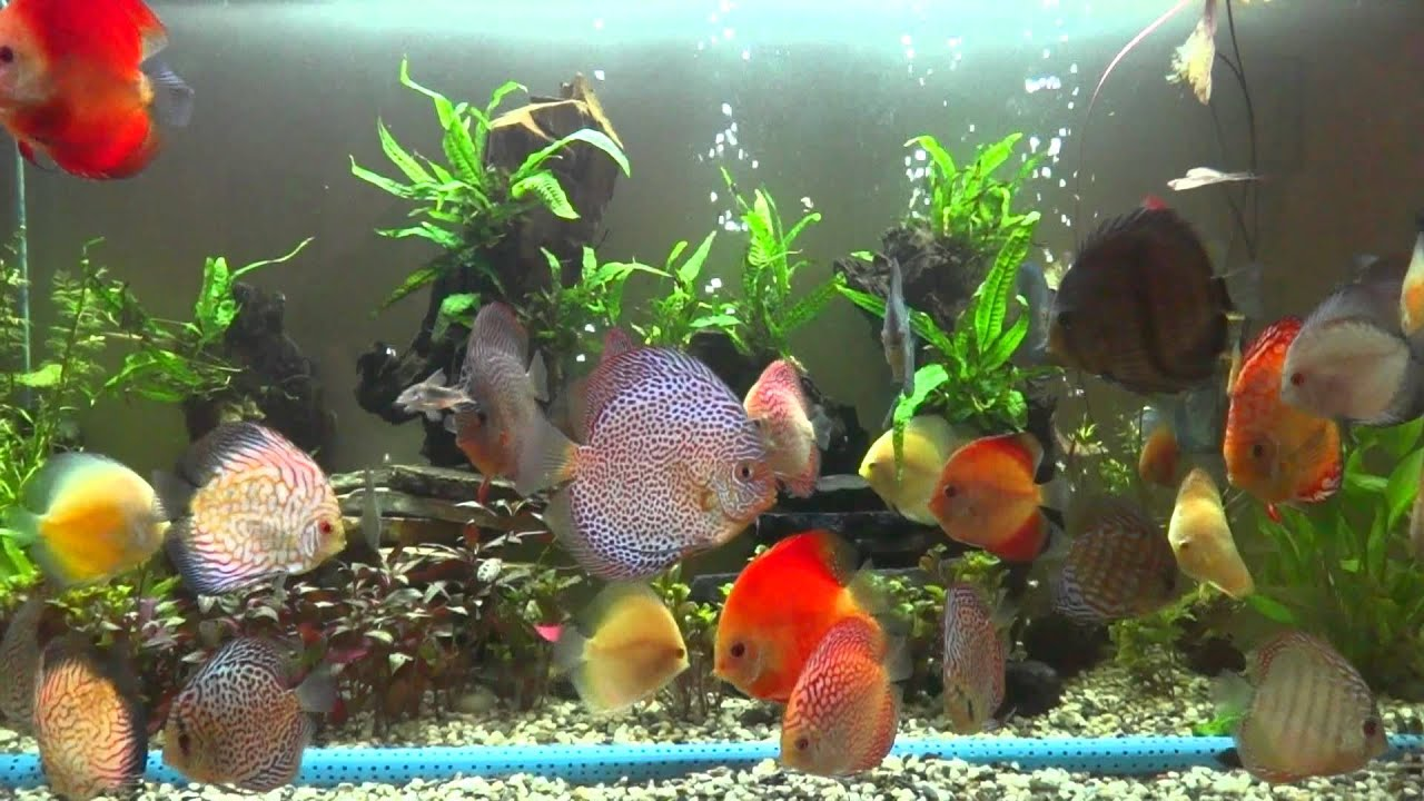 Discus fish varieties youtube for Discus fish types