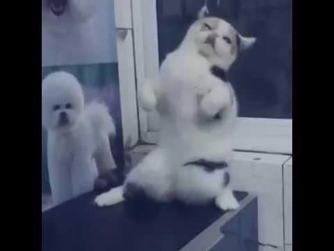 hahaha cat dance funny lol xd