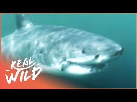 The Case Of The Cuddly Shark [Shark Attacks Documentary] | Wild Things