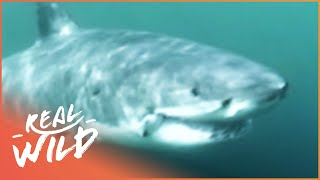 The Case Of The Cuddly Shark [Shark Attacks Documentary] | Wild Things thumbnail