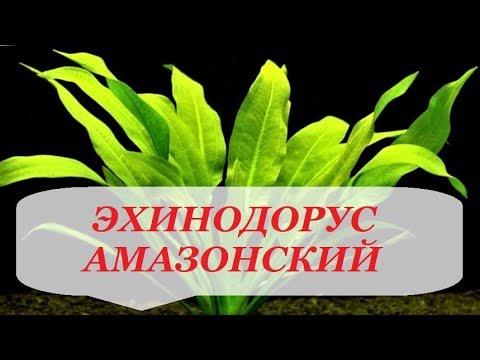 Эхинодорус Амазонский размножение, содержание, уход. Аквариумное растение.