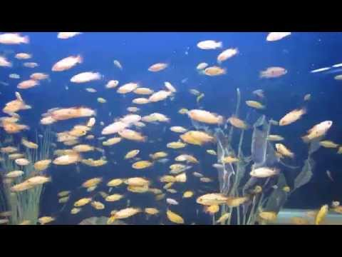 red jewel fish fry