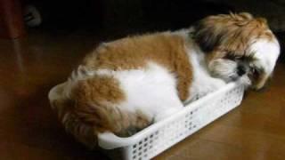 明らかに容量オーバー(笑)、100円ショップのカゴで寝るシーズー子犬「...