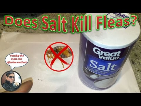 How Long Does It Take For Salt To Kill Fleas In Carpet