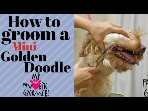 The Miniature Goldendoodle - Your Guide To This Awesome Dog