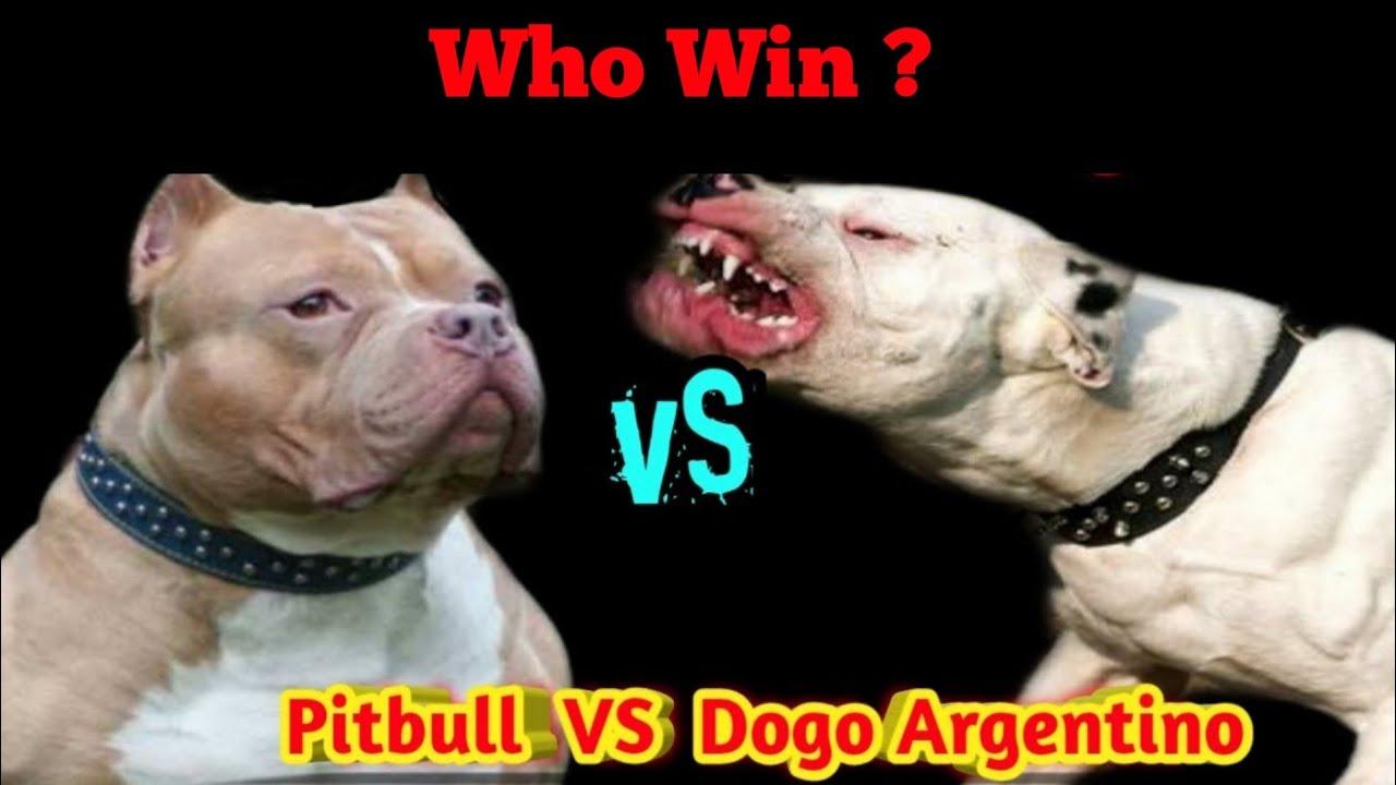 Pitbull VS Dogo Argentino | Who Win The Fight ? |# ...
