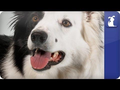 Doglopedia - Border Collie