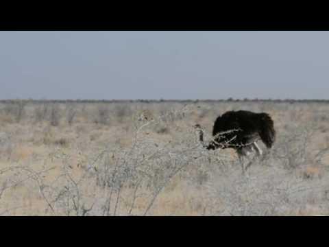 Namibia. Etosha Park. Okaukuejo. Common Ostrich.
