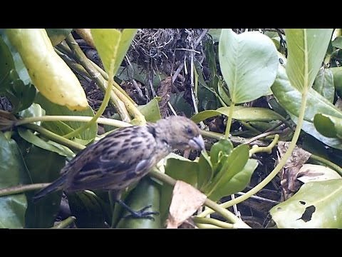 Laysan Island: Bird Bloopers