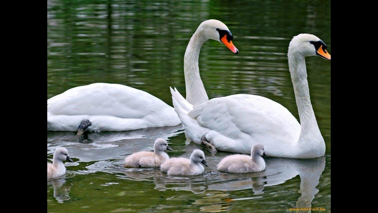 картинки лебеди белые лебеди