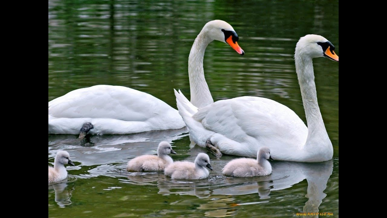Белые лебеди Лебеди на озере, кормятся - YouTube
