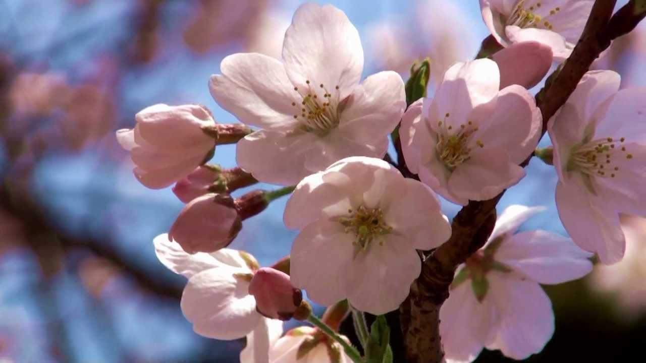 spring cherry blossoms in japan� �� �� �� ���� �� flower v