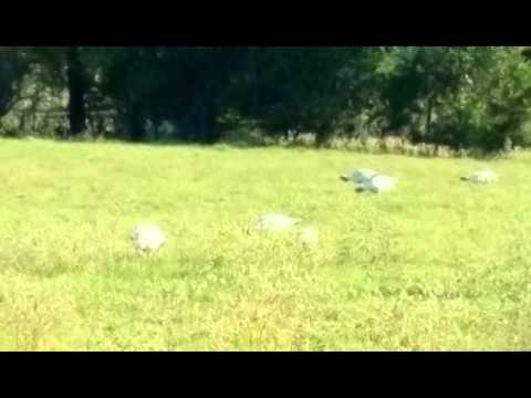 Slanker Big White Turkeys In Pasture