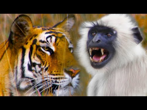 Monkeys Sound Alarm To Save Deer From A Tiger | Life | BBC Earth