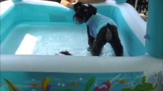 ミニチュウシュナウザーのムックとミントが初めてのプールに挑戦しまし...