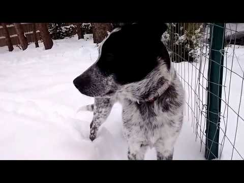 Ashla, our Australian Cattle Dog + Black Lab mix puppy in the snow