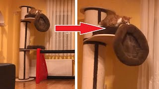 Cute Cat Wants To Sleep On Cat Tree But Ends Up On Floor!