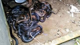 Mô hình nuôi rắn ở lạng sơn. Trại rắn minh đức Tắm cho rắn hổ mang