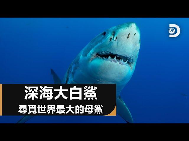鯊魚週30週年特輯:深海大白鯊